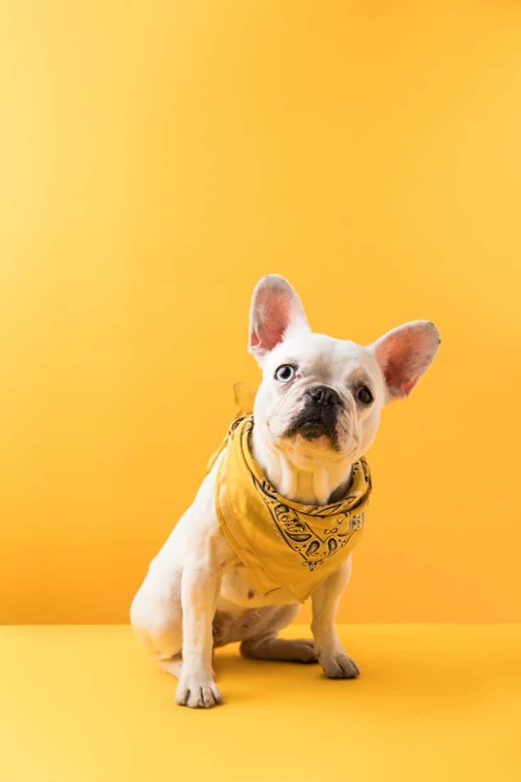 Dog with scarf yellow background